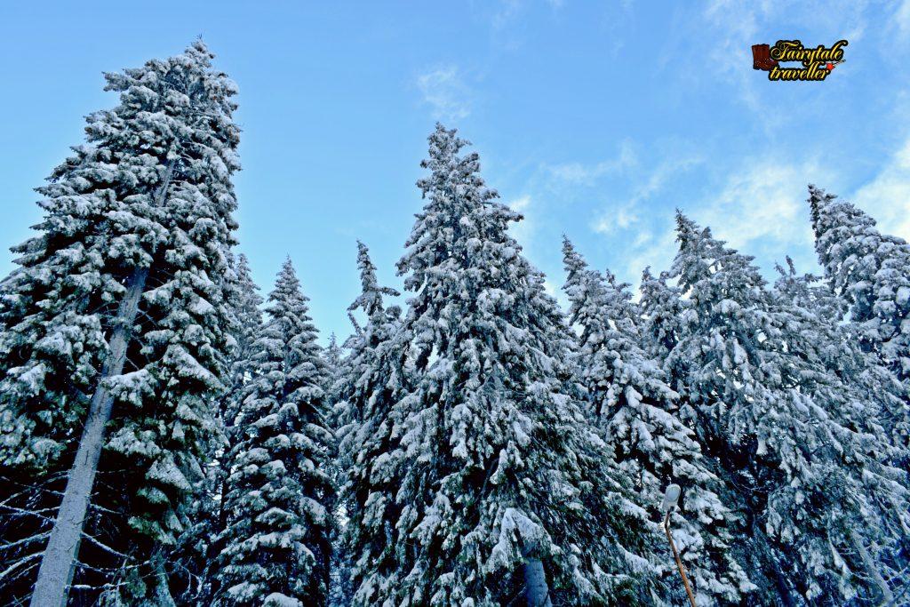 Brazi plini de zăpadă